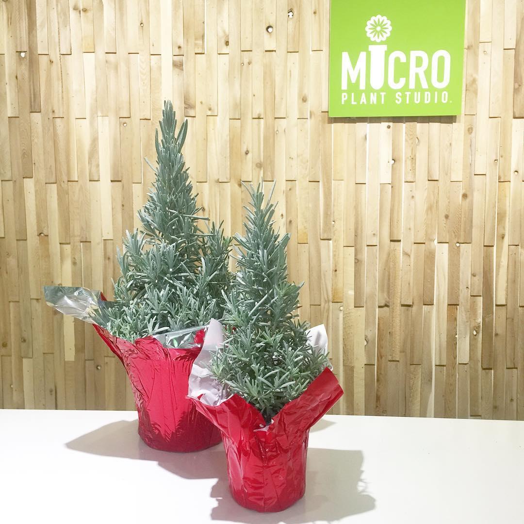 Home / Christmas / Lavender Trees