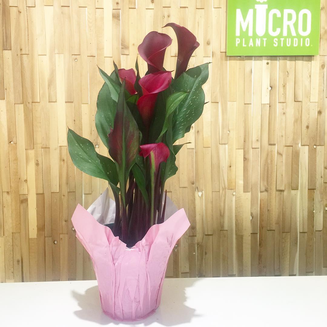 Calla Lilies 4 Deep Red Micro Plant Studio