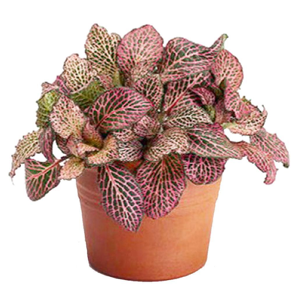 Onia Albivenis Nerve Plant Pink Veins